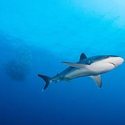 Silvertip shark (Carcharhinus albimarginatus) on coral reef in Kimbe Bay, Papua New Guinea.