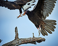Turkey Vulture (Cathartes aura) fighting Crested Caracara (Caracara cheriway). Campos Viejos, Texas. Image taken with a Nikon D4 camera and 600 mm f/4 VR lens
