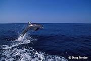 bottlenose dolphin, Tursiops truncatus (c-r)<br /> jump sequence (#1 of 3)<br /> Roatan, Honduras ( Caribbean Sea )