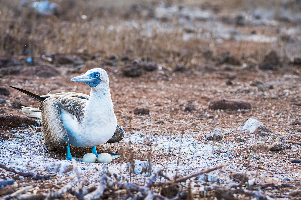 Blue-footed booby (Sula nebouxii) standing in nest with eggs, North Seymour Island, Galapagos, Ecuador.