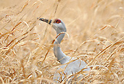 pvc122309a/12-23-09/asec.  A sandhill crane nibbles on seed in a field at the Rio Grande Nature Center, photographed Wednesday Dec. 23, 2009.  (Pat Vasquez-Cunningham/Journal)
