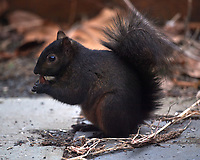 Black Squirrel Eating a Nut. Image taken with a Nikon D5 camera and 600 mm f/4 VR telephoto lens.