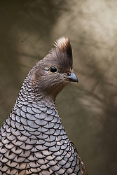 Scaled quail portrait (Callipepla squamata)Fort Worth Zoo, Texas, USA.