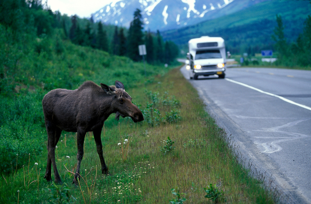 USA, Alaska, Young moose (Alces alces) feeding along Seward Highway in Turnagain Pass south of Anchorage