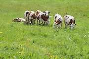 Nederland, Ubbergen, 9-10-2013Een groep jonge koeien, pinken, staan in een weiland bij elkaar.Foto: Flip Franssen/Hollandse Hoogte
