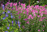 Salvia horminum and geranium in the double borders at Newby Hall, Ripon, North Yorkshire, UK