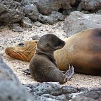 South America, Ecuador, Galapagos Islands. Galapagos Sea Lion mother and pup.