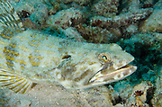 Sand Diver (Synodus intermedius)<br /> BONAIRE, Netherlands Antilles, Caribbean<br /> HABITAT & DISTRIBUTION: Sand, silt and rubble areas from Florida, Bahamas, Caribbean & South to Brazil and Bermuda.