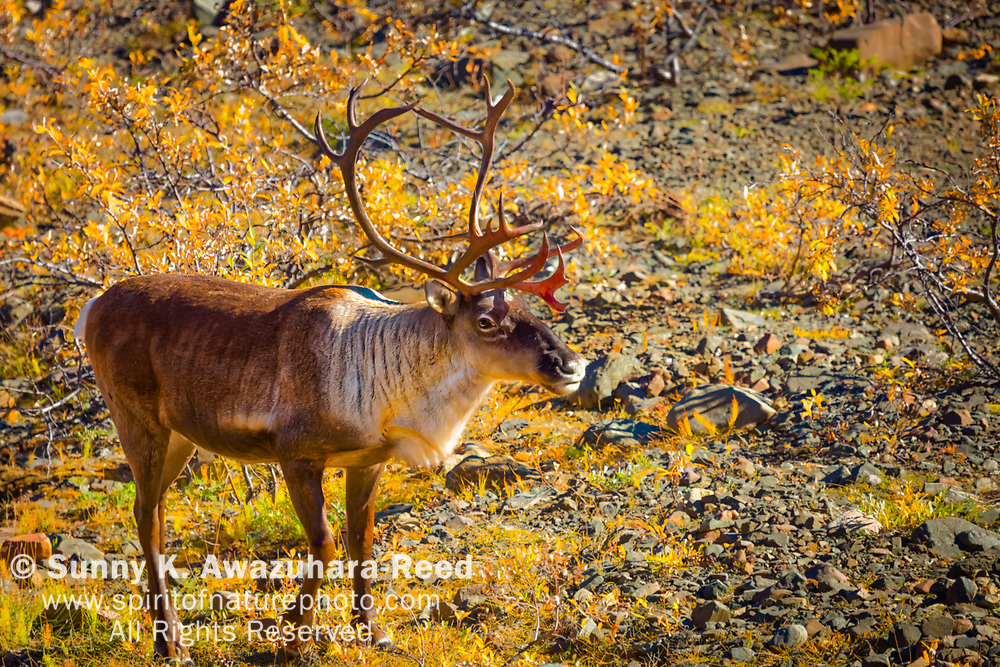 Bull Caribou on fall color bush, Denali National Park & Preserve, Interior Alaska, Autumn.