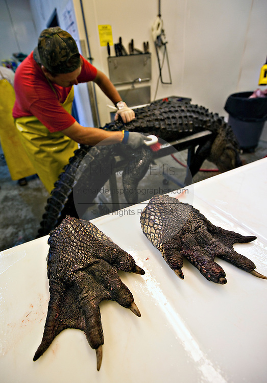 A worker at Cordray's Taxidermy in Ravenel, SC shows off the massive paws of a 12-foot alligator after it was brought in by a hunter during the 3-week long alligator hunting season September 27, 2009. About 300 alligators are taken during the short season out of an estimated 150,000 alligators in SC waters.