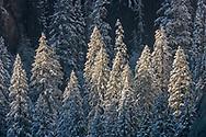 Evergreen trees covered in fresh winter snow, Yosemite Valley, Yosemite National Park, California