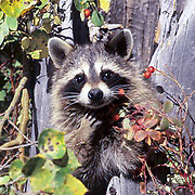 Raccoon, (Procyon lotor) Feeding on rosehips from hollow tree trunk. Fall.  Captive Animal.