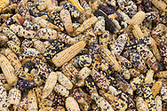 A Harvest of a variety of corn / Cosecha de maíz de distintos colores.