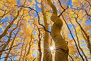 A sun star emerges through aspen trees  in the San Juan Mountains near Ouray, Colorado