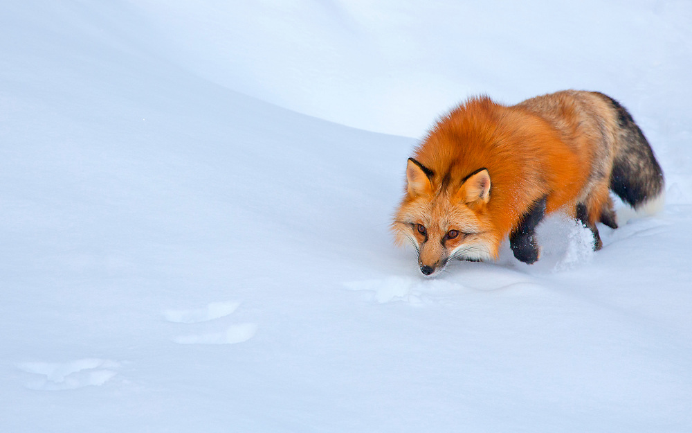 THE ESSENCE OF RED FOX | Tracking cottontails in Blackfoot valley, Montana, United States