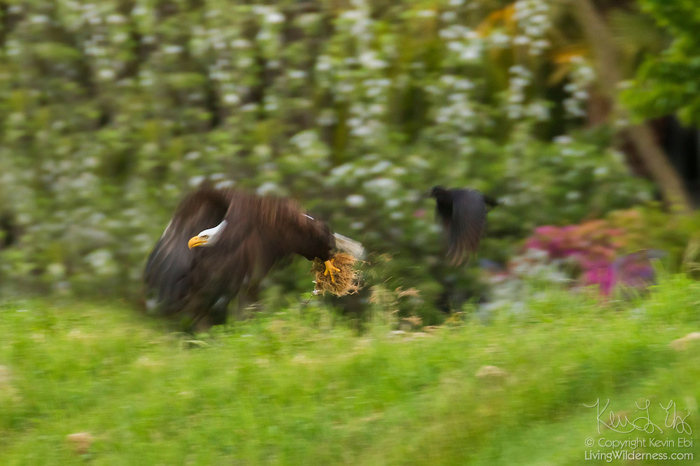 A bald eagle (Haliaeetus leucocephalus) grabs grass for use as nesting material while a crow chases. Bald eagles build the largest nests recorded for any animal species: as much as 8 feet (2.5 meters) wide, 13 feet (4 meters) deep, and with a weight of approximately 1 ton.