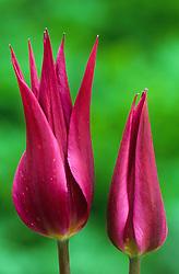 Tulip 'Burgundy'