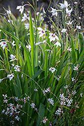 Gaura lindheimeri with Gladiolus callianthus syn. Acidanthera bicolor var murielae AGM - Abyssinian gladiolus