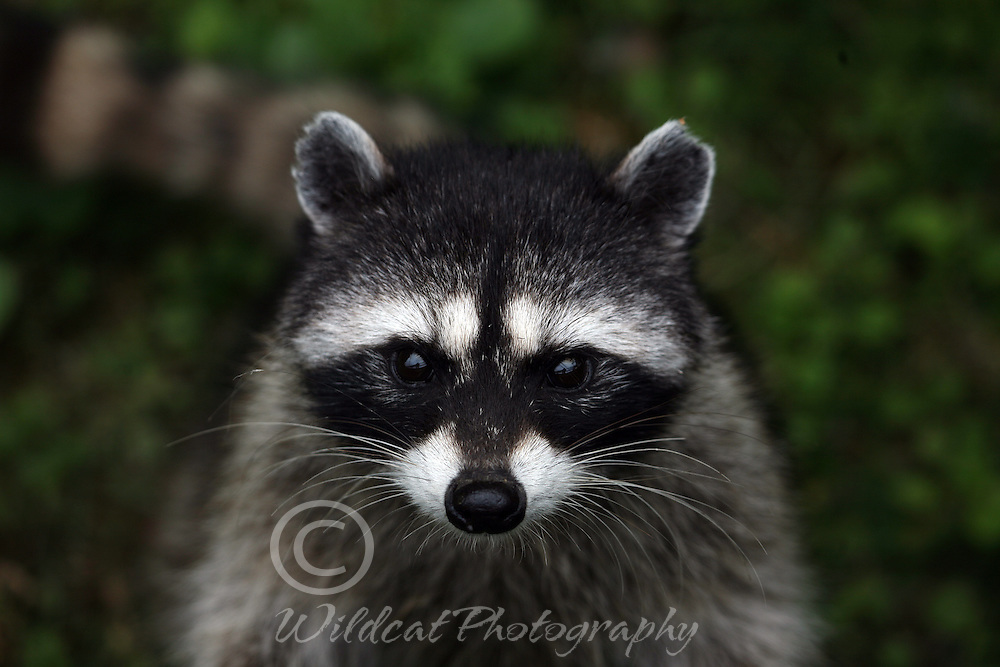 Raccoon coming right at you.
