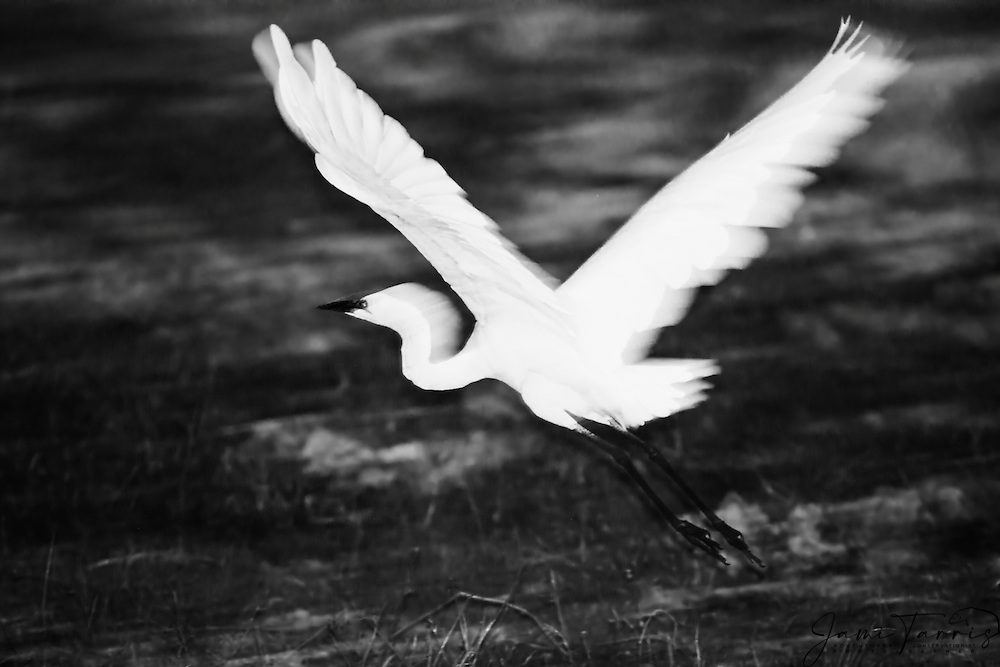 In black and white, a great white egret or great white heron in flight (Ardea alba), Chobe River,Botswana, Africa