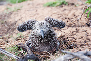 A bay Laysan Albatross chick spreads its wings.
