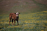 Young cow calf in field of grass and wildflowers in spring, Isabel Valley, Santa Clara County, California