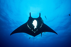Giant Manta, Manta birostris, soaring through mid-water. San Benedicto Island, Revillagigedo Archipelago, Mexico, Pacific Ocean
