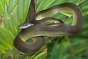Papuan python, Snake Apodora papuana, New Guinea nocturnal,  ability to change color, curled on palm leaf
