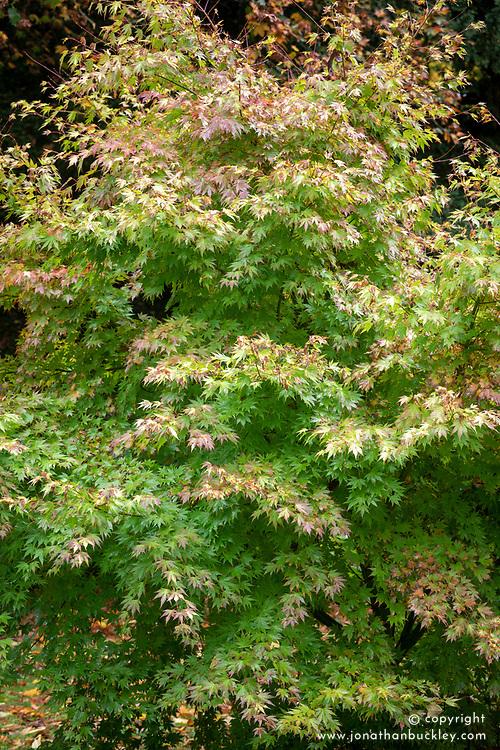Acer palmatum 'Orange Dream' AGM - Japanese maple