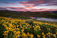 A blanketed hillside of yellow balsamroot, aka mule ear, wildflowers at sunset in East Canyon of the Wasatch Mountains near Salt Lake City, Utah.