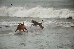 October 7, 2016 - Juno Beach, Florida, U.S. - Dogs play in the surf on Juno Beach after Hurricane Matthew moved up the coast on Friday, October 7, 2016. (Credit Image: © Joe Forzano/The Palm Beach Post via ZUMA Wire)