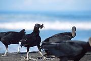 black vultures, Coragyps atratus, feeding on olive ridley sea turtle hatchlings, Lepidochelys olivacea, Playa Ostional, Costa Rica, Central America ( Eastern Pacific Ocean )