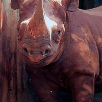 Africa, Kenya, Nairobi. Orphaned blind rhinoceros rescued and cared for at David Sheldrick's.