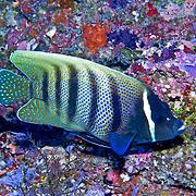 Inhabit reefs. Picture taken Palau 2013.