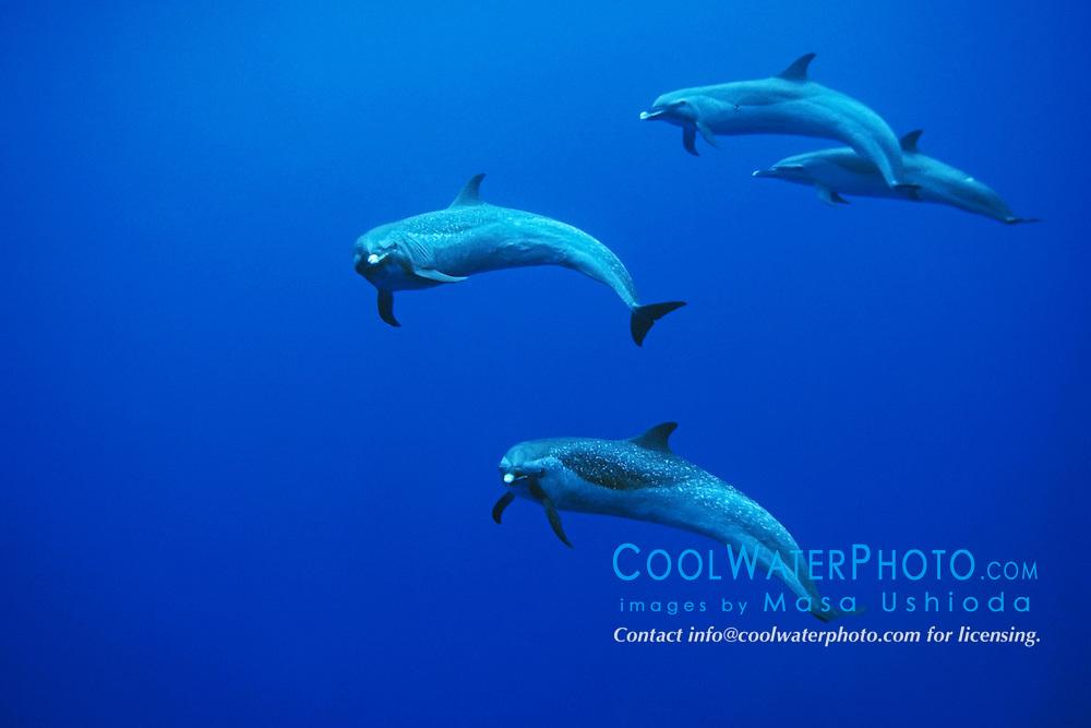 Pantropical Spotted Dolphins, Stenella attenuata, off Kona Coast, Big Island, Hawaii, Pacific Ocean.