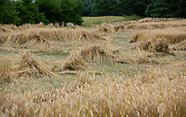 Podlasie. Zniszczone przez ulewne deszcze i grad uprawy zboża
