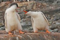Two Gentoo Penguins (Pygoscelis papua) on Jougla Point, Wieneke Island.