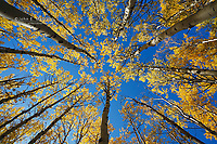 Aspen forest in fall colours, Banff National Park, Alberta, Canada
