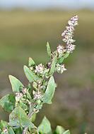 Babbington's Orache - Atriplex glabriuscula