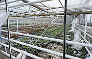 Nederland, Huissen, 4-1-2014Na het noodweer van gisteren is er grote schade aan enkele kassen in het kassengebied Begerden. In een smalle strook hebben onweer en rukwinden hier huisgehouden. Een kas is compleet omver geblazen. Het is een plantenkwekerij die viooltjes kweekt.Foto: Flip Franssen/Hollandse Hoogte