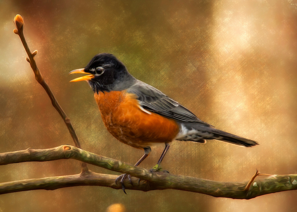 The American robin is a migratory songbird of the thrush family. It is named after the European robin because of its reddish-orange breast.