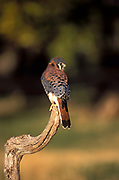 American Kestrel, Falco sparverius - adult male, bird of prey, perched on branch, hunts small mammals insects, Boulder Colorado forest .