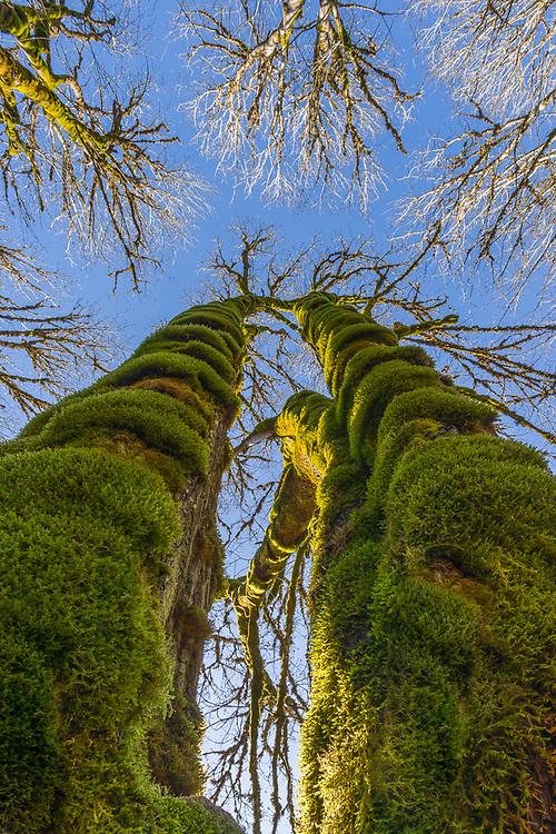 Bigleaf maple trees (Acer macrophyllum), November, Elwha River watershed, Olympic National Park, WA, USA