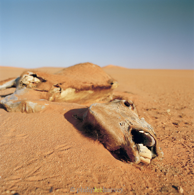 A dead Camel, Sahara Desert, Libya, North Africa.