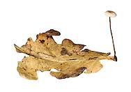 Setulipes quercophilus