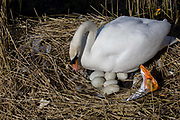A female mute swan (pen) incubates her eggs on a nest surrounded by plastic bags waste, in an urban water basin. Six eggs can be seen under her body as she shifts position and checks their location and safety - watching for any signs of hatching. She shares the space with wrappers and bottles, bags and cans tossed from a nearby walkway and perhaps drifted on the water from this urban basin in London's Docklands. The mute swan, which is the white swan most commonly seen in the British Isles, will normally mate at anytime from spring through to summer, with the cygnets being born anytime from May through to July. A swan's nest takes 2-3 weeks and the egg laying process begins with an egg being laid every 12-24 hours. They will all be incubated (ie sat on to start the growth process) at the same time with hatching usually 42 days (6 weeks) later.
