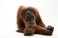 A critically endangered sumatran orangutan, Pongo abelii, at the Gladys Porter Zoo in Brownsville, TX.<br />