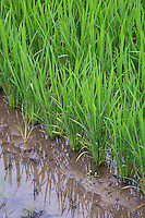 Rice Seedlings - Rice is of the grass species oryza sativa and considered a cereal grain and the most widely eaten staple in Asia.  Because of the increase in use of machinery  and the aging farmer population in Japan, rice fields are rapidly disappearing as it must be done mostly by hand.