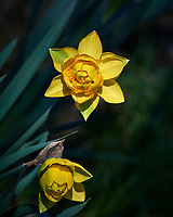 Late Fancy Daffodils. Image taken with a Nikon D5 camera and 300 mm f/4 lens