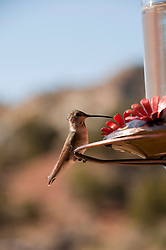 USA, Utah, hummingbird at feeder in Escalante.
